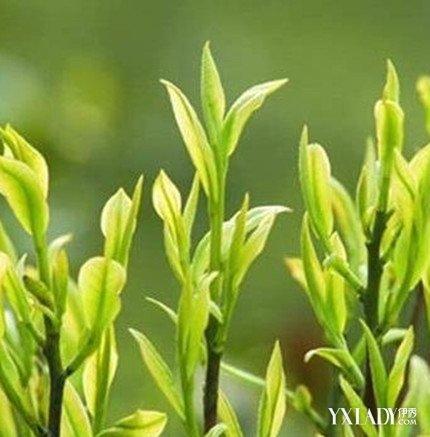 【图】茶树精油可以祛痘吗?