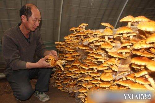 人工培育的柳树菇 野生柳树菇仅着生于柳树上,柳树菇的价... 图片 43k 500x333