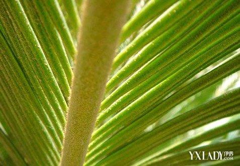 【图】铁树叶的功效与作用 铁树的花有什么健康价值