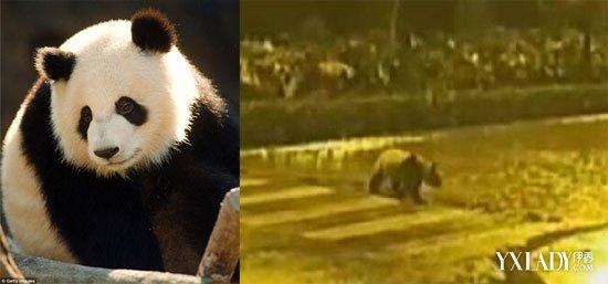 【大熊猫深夜逛街】过精彩夜生活 开车遇到动物怎么办