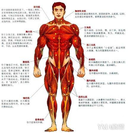 【图】人体肌肉群正面图片介绍 揭秘人体神奇的引擎