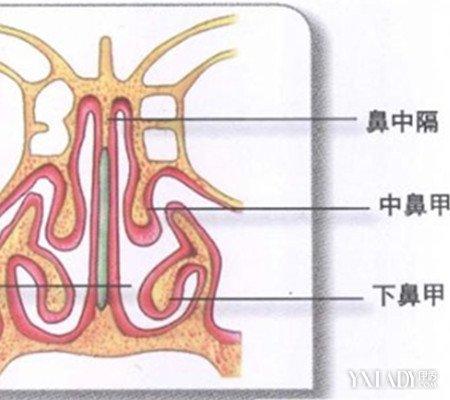 【图】鼻子结构图展示