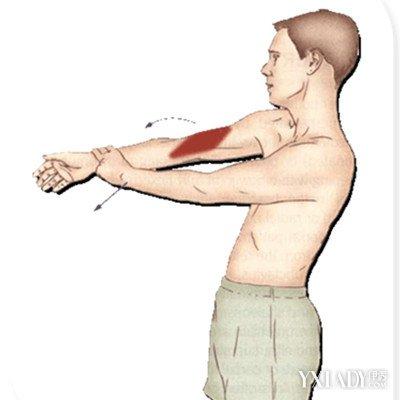 手臂韧带结构图