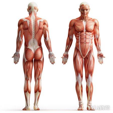 图解人体肌肉结构 详解其构造组成