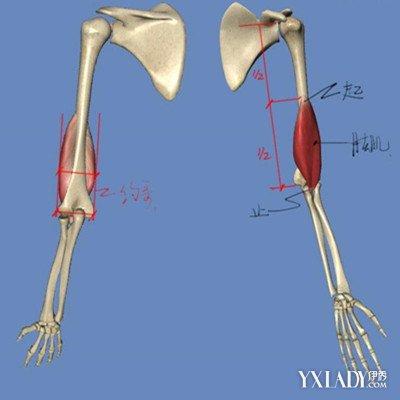 你对人体结构的了解知多少 带你走进手臂骨骼结构图