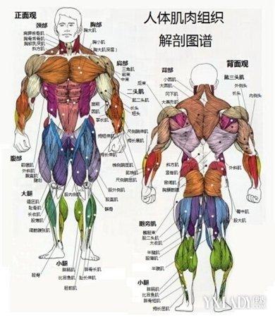 由特殊分化的肌细胞构成的动物的基本组织
