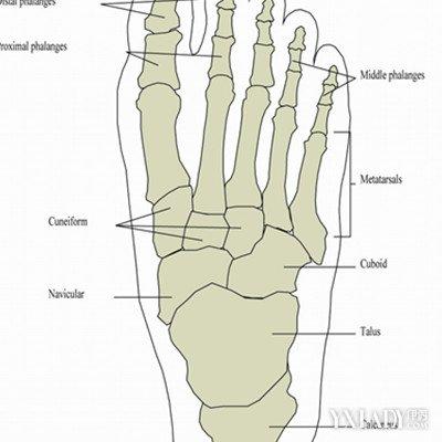 足部骨骼结构图展示 男女脚的差异比较