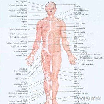 背部经络图解大图欣赏 十二经筋具分布介绍