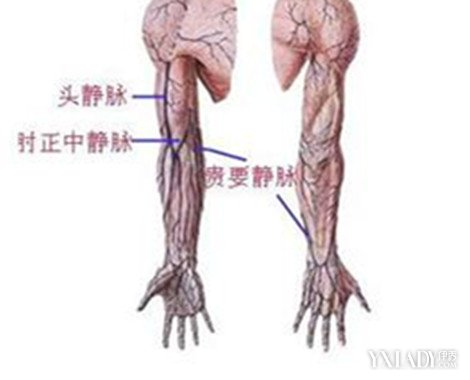 手臂大臂解剖结构图片大全