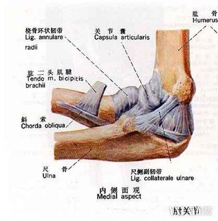 肘关节解剖图谱 深入探究X线解剖肘关节图谱