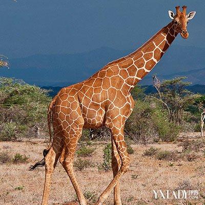 它们是世界上现存最高的陆生动物.一般的长颈鹿站立时由头至脚可达4.