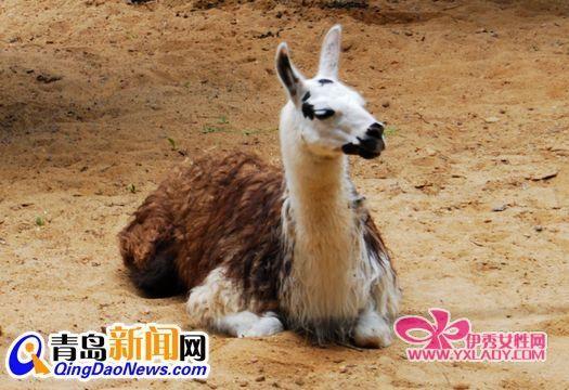 羊驼在青岛动物园安家