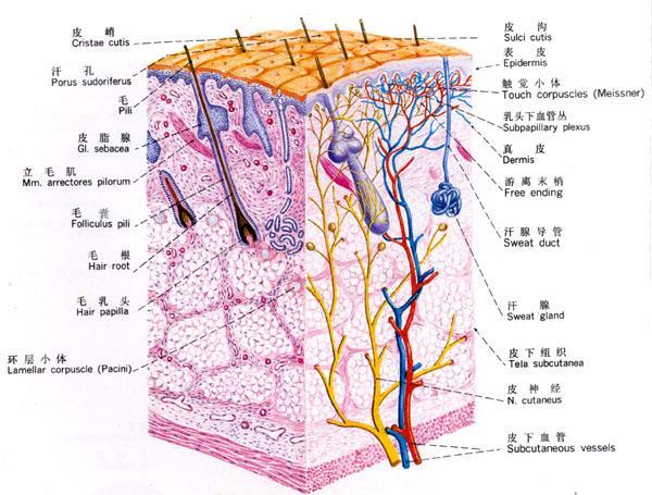 中文名称: 表皮英文名称: periderm;cuticle;cuticula (拉)定义1: 组成翼腮纲和笔石纲群体外骨骼的硬蛋白物质,通常由纺锤层(内)和外皮层(外)构成。所属学科: 古生物学(一级学科);古无脊椎动物学(二级学科);半索动物门(三级学科)定义2: 昆虫躯体的外层包被物,由真皮细胞分泌形成。亦存在外胚层内陷构造上。如口道、肛道、气管上。所属学科: 昆虫学(一级学科);昆虫内部构造(二级学科) 表皮含有20%-30%的水分及5%-7%的脂肪。最薄处为眼皮,约0.