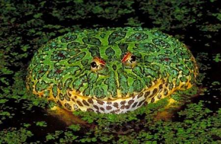角蛙长得好食物就要多点品种,我喂蟋蟀,小鱼,小虾,壁虎还隔半年喂